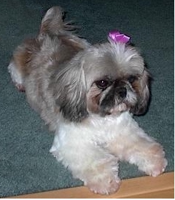 Shih Tzu Rescue Furever Shih Tzu Companion Dog Rescue