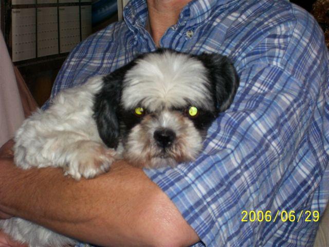 Shih Tzu Rescue Furever Shih Tzu Companion Dog Rescue